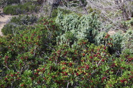 Lavrakas Mastix - Juniperus macrocarpa