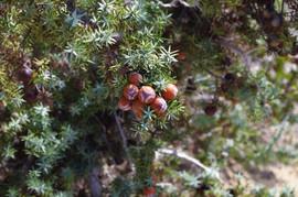 Lavrakas Juniperus macrocarpa